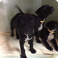 Adopt A Pet :: Trio of boys - Fair Oaks Ranch, TX