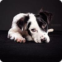 Adopt A Pet :: Violet - PORTLAND, ME