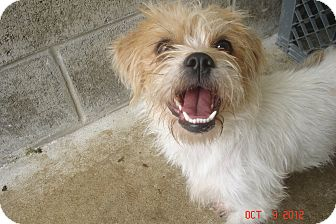 Wirehaired Fox Terrier Mix Dog for adoption in Lake Odessa, Michigan - Brandy
