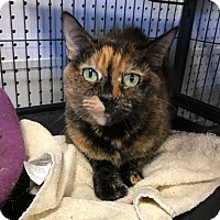 Domestic Shorthair Cat for adoption in Barrington Hills, Illinois - Cassie