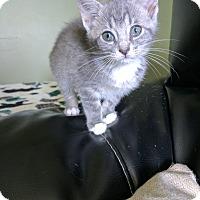 Adopt A Pet :: Bitz - Beacon, NY