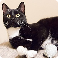 Adopt A Pet :: Tennessee Tuxedo - Chicago, IL