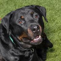 Adopt A Pet :: Severus - Bellevue, WA
