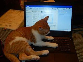 Domestic Shorthair Cat for adoption in Tampa, Florida - Heyward (9570)