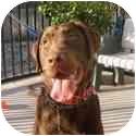 Labrador Retriever Dog for adoption in San Diego, California - ZEUS