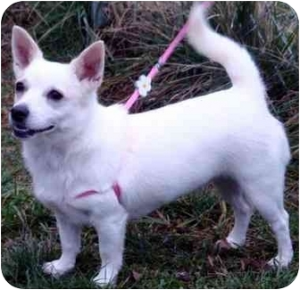 Chihuahua/American Eskimo Dog Mix Dog for adoption in Overland Park, Kansas - Kiana
