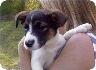 Retriever (Unknown Type)/Pointer Mix Puppy for adoption in Wilmington, Delaware - Scarlet