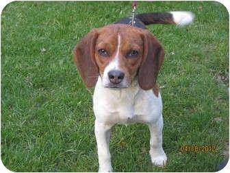 Beagle Puppy for adoption in Elyria, Ohio - Molly