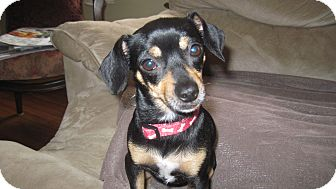 Chihuahua/Dachshund Mix Dog for adoption in Spring Valley, New York - Midge