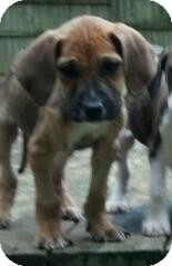 Mastiff/Bloodhound Mix Puppy for adoption in Richmond, Virginia - Rosie