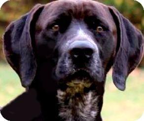 Labrador Retriever/German Shorthaired Pointer Mix Dog for adoption in Wakefield, Rhode Island - MALLARD(SO GENTLE--SO LOVING!!