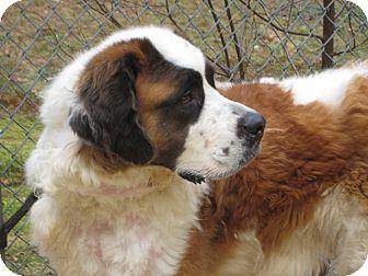 St. Bernard Dog for adoption in Sudbury, Massachusetts - JOURNEY