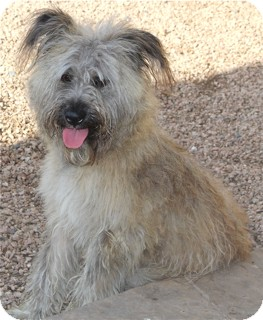 Briard/Wheaten Terrier Mix Dog for adoption in Norwalk, Connecticut - Tanna