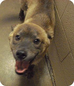 Siberian Husky/Boxer Mix Dog for adoption in Wickenburg, Arizona - Yote