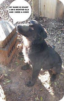 Flat-Coated Retriever Mix Dog for adoption in Largo, Florida - Scamp
