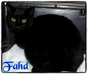 Bombay Kitten for adoption in Estancia, New Mexico - Fahd
