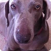 Adopt A Pet :: Fergie - St. Louis, MO