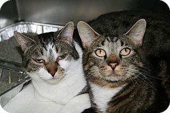 Domestic Shorthair Cat for adoption in Jackson, New Jersey - Diesel and Mac