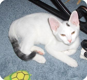 Domestic Shorthair Kitten for adoption in Richmond, Virginia - Blizzard