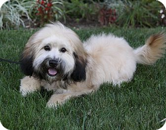 Havanese Mix Puppy for adoption in Newport Beach, California - ACE