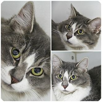 Domestic Longhair Cat for adoption in Forked River, New Jersey - Cirrus