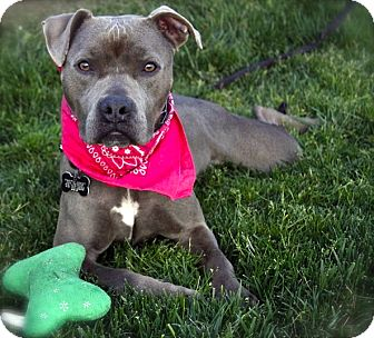American Pit Bull Terrier/Staffordshire Bull Terrier Mix Dog for adoption in Burbank, California - Beautiful Boo-VIDEO