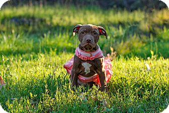 Pit Bull Terrier/Labrador Retriever Mix Puppy for adoption in Auburn, California - Lily