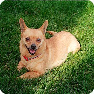 Chihuahua/Corgi Mix Dog for adoption in Seattle, Washington - Pippa