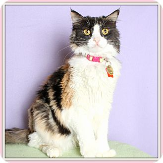 Calico Cat for adoption in Glendale, Arizona - Callie