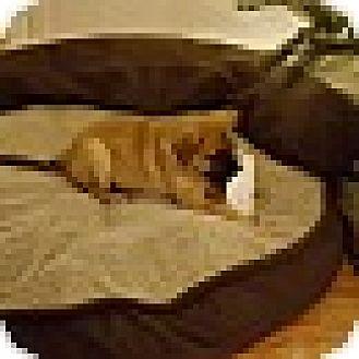 German Shepherd Dog/Labrador Retriever Mix Puppy for adoption in MILWAUKEE, Wisconsin - RAINBOW,BUTTERBALL AND ROSEBUD