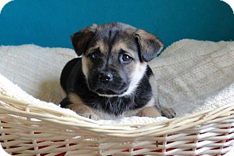 Shepherd (Unknown Type) Mix Puppy for adoption in Waldorf, Maryland - Chip