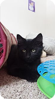 Domestic Mediumhair Kitten for adoption in Cedar Springs, Michigan - Roary