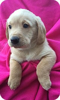Basset Hound/Golden Retriever Mix Puppy for adoption in Brookeville, Maryland - Langley