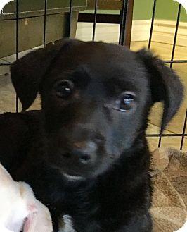 Jack Russell Terrier/Sheltie, Shetland Sheepdog Mix Puppy for adoption in Santa Ana, California - William