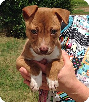 Terrier (Unknown Type, Medium)/Jack Russell Terrier Mix Puppy for adoption in Middletown, Virginia - Finn