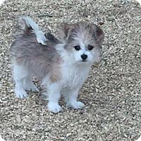 Adopt A Pet :: Kaylee - Las Cruces, NM