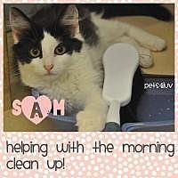 Domestic Mediumhair Kitten for adoption in Westbury, New York - Sam