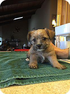 Shih Tzu Mix Puppy for adoption in Pleasanton, California - Holly