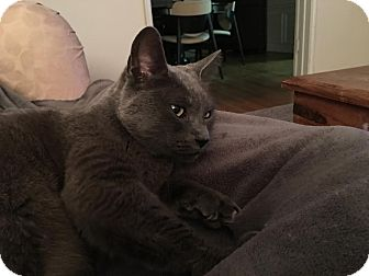 Russian Blue Cat for adoption in Los Angeles, California - Kylie