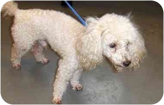 Poodle (Toy or Tea Cup) Dog for adoption in Melbourne, Florida - BENSON