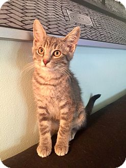 Domestic Shorthair Kitten for adoption in Rochester Hills, Michigan - Figgy