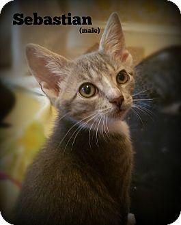 Domestic Shorthair Kitten for adoption in Glen Mills, Pennsylvania - Sebastian