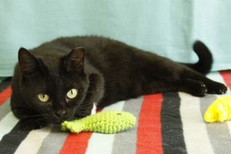 Domestic Shorthair/Domestic Shorthair Mix Cat for adoption in Bristol, Indiana - Celia