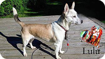 Corgi/Chihuahua Mix Dog for adoption in Ottawa, Ontario - Lulu