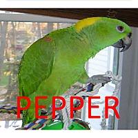 Adopt A Pet :: Pepper- Yellow Nape Amazon +2 - Vancouver, WA