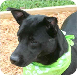 Labrador Retriever Mix Dog for adoption in Cincinnati, Ohio - Mojo