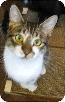 Domestic Shorthair Cat for adoption in Portland, Oregon - Wonka