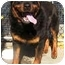 Photo 2 - Rottweiler Dog for adoption in Oswego, Illinois - GUS