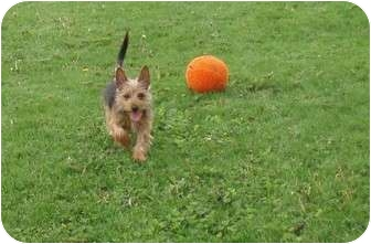 Yorkie, Yorkshire Terrier Mix Puppy for adoption in Mt Gretna, Pennsylvania - Boo Boo Max