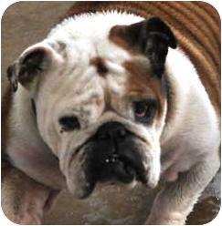 English Bulldog Dog for adoption in Decatur, Illinois - Faith